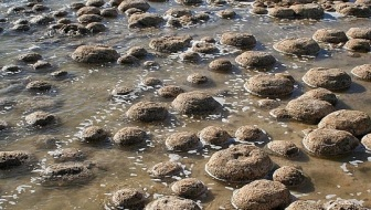 The thrombolites in Lake Clifton, south of Mandurah, Western Australia