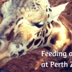 Feeding a giraffe at Perth Zoo, Western Australia