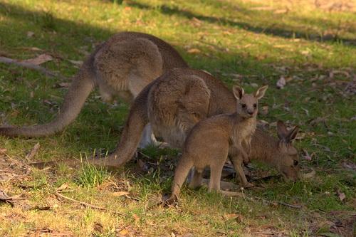 Nina Travels: A Slovenian in Australia meeting kangaroos