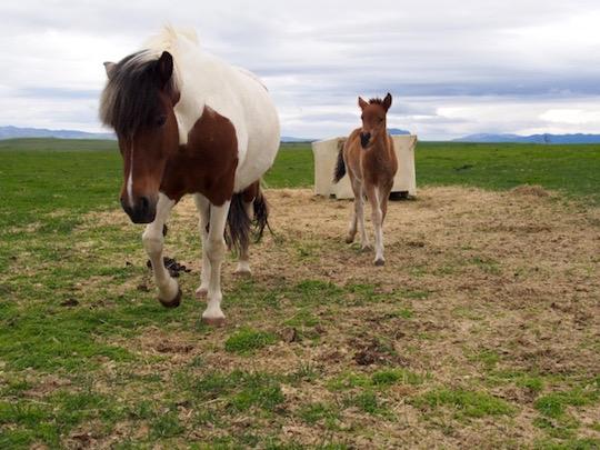 Icelandic horse and foal at Icelandic Horseworld