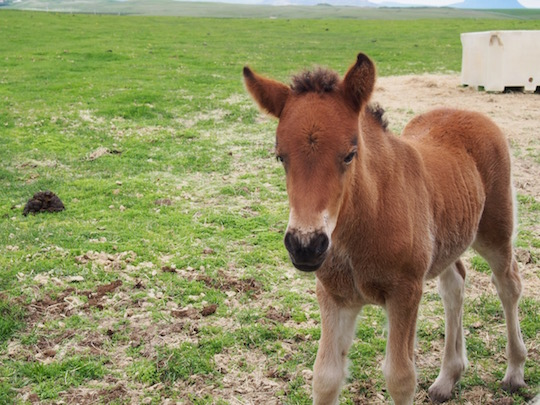 A friendly foal at Icelandic Horse World in southern Iceland
