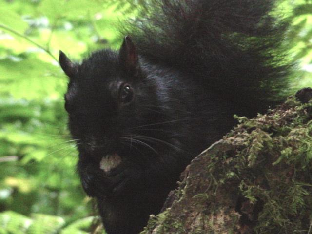 Squirrel in Stanley Park, Vancouver, Canada