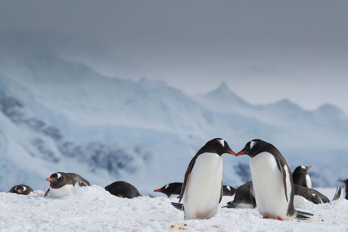 Penguins kissing in Antarctica photo by Suzanne Moore